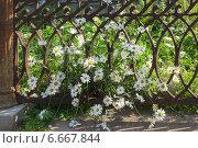 Купить «Красивые ромашки и ажурная чугунная ограда», эксклюзивное фото № 6667844, снято 31 июля 2014 г. (c) Тамара Заводскова / Фотобанк Лори