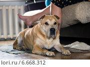 Купить «Собака лежит у ног своей хозяйки, сидящей на диване», фото № 6668312, снято 11 ноября 2014 г. (c) Алексей Маринченко / Фотобанк Лори