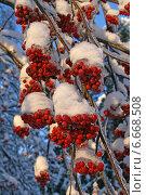 Купить «Обледенелые гроздья рябины зимой висят на дереве», эксклюзивное фото № 6668508, снято 4 января 2011 г. (c) Алексей Гусев / Фотобанк Лори