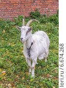 Белая коза на привязи пасется на приусадебном участке. Стоковое фото, фотограф Владимир Сергеев / Фотобанк Лори