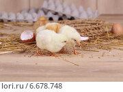 Купить «Пушистые цыплята клюют корм», фото № 6678748, снято 29 марта 2014 г. (c) Марина Володько / Фотобанк Лори