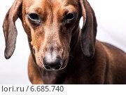 Портрет рыжей таксы на белом фоне. Стоковое фото, фотограф Суворкин Владимир / Фотобанк Лори