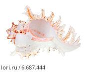 Купить «Морская ракушка Цикореус (Chicoreus ramosus), изолировано на белом фоне», фото № 6687444, снято 28 февраля 2013 г. (c) Игорь Долгов / Фотобанк Лори