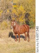 Молодая лошадь на привязи. Стоковое фото, фотограф Лысенко Владимир / Фотобанк Лори