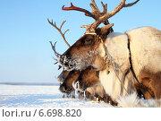 Купить «Северный олень на Ямале», фото № 6698820, снято 26 февраля 2012 г. (c) Григорий Писоцкий / Фотобанк Лори