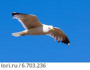 Купить «Hovering seagull», фото № 6703236, снято 12 июня 2013 г. (c) Яков Филимонов / Фотобанк Лори