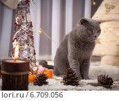 Купить «Красивый британский кот у новогодней елки», фото № 6709056, снято 16 января 2019 г. (c) Останина Екатерина / Фотобанк Лори
