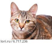 Купить «Полосатая кошка», эксклюзивное фото № 6717236, снято 20 ноября 2014 г. (c) Куликова Вероника / Фотобанк Лори