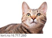 Купить «Красивая кошка смотрит вверх», эксклюзивное фото № 6717260, снято 20 ноября 2014 г. (c) Куликова Вероника / Фотобанк Лори