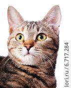 Купить «Портрет удивленной кошки», эксклюзивное фото № 6717284, снято 20 ноября 2014 г. (c) Куликова Вероника / Фотобанк Лори