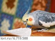 Купить «Попугай корелла откусывает кусочки от листа бумаги», эксклюзивное фото № 6719588, снято 22 ноября 2014 г. (c) Dmitry29 / Фотобанк Лори