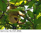 Ленивец висит на ветке среди зелёных листьев. Стоковое фото, фотограф Елена Уткина / Фотобанк Лори