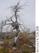 Закрученное дерево на горе Воттоваара в Республике Карелии. Стоковое фото, фотограф Владимир Семенов / Фотобанк Лори
