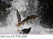 Купить «Горбуша идущая на нерест пытается прыжком преодолеть водопад», фото № 6734284, снято 16 августа 2009 г. (c) Дмитрий УТКИН / Фотобанк Лори