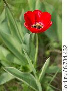 Красный тюльпан. Стоковое фото, фотограф Анастасия Кузьмина / Фотобанк Лори