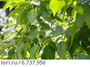 Листья тополя. Стоковое фото, фотограф Евгений Виноградов / Фотобанк Лори
