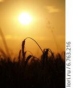 Поле пшеницы. Стоковое фото, фотограф Арсен Васильковский / Фотобанк Лори