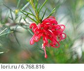 Купить «Красный цветок Гревиллея», фото № 6768816, снято 30 марта 2013 г. (c) Анна Мартынова / Фотобанк Лори