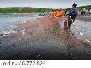 Купить «Рыбаки вытаскивают сеть с пойманной горбушей», фото № 6772824, снято 26 июля 2009 г. (c) Дмитрий УТКИН / Фотобанк Лори