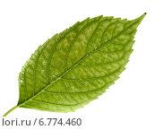 Купить «Зеленый лист на белом фоне», фото № 6774460, снято 27 сентября 2010 г. (c) Анатолий Заводсков / Фотобанк Лори