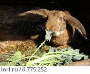 Кролик ест капусту. Стоковое фото, фотограф Мария Мухина / Фотобанк Лори