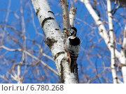 Купить «Дятел белоспинный, Dendrocopos leucotos, White-backed Woodpecker», фото № 6780268, снято 5 апреля 2014 г. (c) Василий Вишневский / Фотобанк Лори