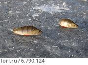 Купить «Выловленные окуни на льду», эксклюзивное фото № 6790124, снято 27 декабря 2013 г. (c) Елена Коромыслова / Фотобанк Лори