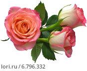 Три розовые розы. Стоковое фото, фотограф Марина Глянь / Фотобанк Лори