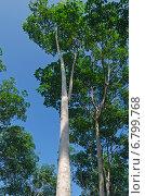 Купить «Бразильская гевея - каучуковое дерево (лат. Hevea brasiliensis)», фото № 6799768, снято 19 сентября 2014 г. (c) Юлия Батурина / Фотобанк Лори
