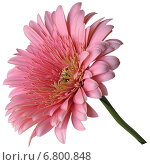 Большой розовый гербер. Стоковое фото, фотограф Марина Глянь / Фотобанк Лори