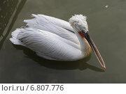 Кудрявый пеликан. Стоковое фото, фотограф Gribacheva Olesya / Фотобанк Лори