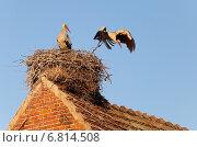Rühstädt, Germany, storks in their nest on a ridge. Стоковое фото, агентство Caro Photoagency / Фотобанк Лори