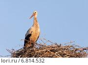 Rühstädt, Germany, Stork in its nest in the morning light. Стоковое фото, агентство Caro Photoagency / Фотобанк Лори