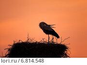 Rühstädt, Germany, Stork in its nest in the sunset. Стоковое фото, агентство Caro Photoagency / Фотобанк Лори