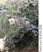 Роза в заморозки. Стоковое фото, фотограф Ирина Королева / Фотобанк Лори