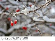 Веточка с красными ягодами и тающим снегом в Ботаническом саду. Стоковое фото, фотограф Антонина Морозова / Фотобанк Лори