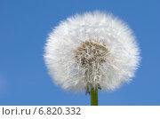 Купить «Пушистый белый одуванчик (лат. Taraxacum officinale) на фоне голубого неба», эксклюзивное фото № 6820332, снято 23 июля 2014 г. (c) Елена Коромыслова / Фотобанк Лори
