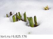 Купить «Ростки голландского декоративного лука (лат. Allium hollandicum) пробиваются сквозь снег», эксклюзивное фото № 6825176, снято 5 апреля 2014 г. (c) Елена Коромыслова / Фотобанк Лори