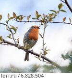 Купить «Зарянка. Robin (Erithacus rubecula)», фото № 6828504, снято 24 апреля 2013 г. (c) Василий Вишневский / Фотобанк Лори
