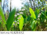 Купить «Цветущие ландыши в солнечном лесу», фото № 6829612, снято 27 мая 2014 г. (c) Икан Леонид / Фотобанк Лори