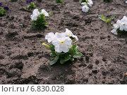 Рассада цветов белой петунии, высаженная на землю клумбы. Стоковое фото, фотограф Светлана Попова / Фотобанк Лори