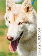 Купить «Белый Сибирский хаски», фото № 6837064, снято 1 мая 2014 г. (c) g.bruev / Фотобанк Лори