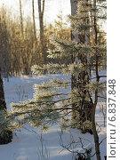 Сосна в инее на фоне зимнего леса. Стоковое фото, фотограф Ирина Черкашина / Фотобанк Лори