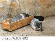 Купить «Декоративные свинки (мини-пиги) у кормушки», эксклюзивное фото № 6837892, снято 16 августа 2013 г. (c) Щеголева Ольга / Фотобанк Лори