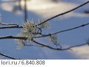 Хвоя сосны в инее. Стоковое фото, фотограф Ирина Черкашина / Фотобанк Лори