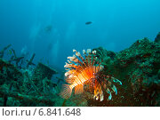 Купить «Крылатка-зебра (common lionfish, devil firefish, pterois miles) плывет над затонувшим судном», фото № 6841648, снято 11 февраля 2013 г. (c) Сергей Дубров / Фотобанк Лори