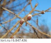 Весенний цвет вербы. Стоковое фото, фотограф Александр Владимирович / Фотобанк Лори