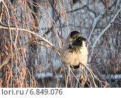 Купить «Нахохлившаяся на морозе серая ворона (лат. Corvus cornix)», эксклюзивное фото № 6849076, снято 29 декабря 2014 г. (c) lana1501 / Фотобанк Лори