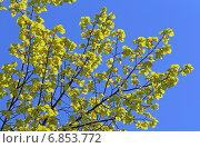Купить «Молодые листья липы на фоне синего весеннего неба», фото № 6853772, снято 6 мая 2014 г. (c) Григорий Писоцкий / Фотобанк Лори