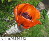 Оранжевый мак на дачном участке. Стоковое фото, фотограф Татьяна Ломакина / Фотобанк Лори